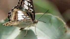 fjärilar lager videofilmer