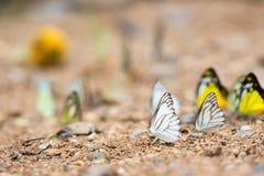 Fjärilar (chokladalbatrossen) som matar på jordningen royaltyfri foto