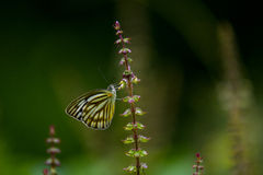 Fjärilar (den gemensamma faderns) och blommor royaltyfria foton