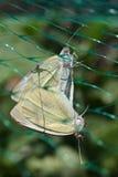 Fjärilar för kålvit Arkivbilder