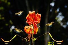 Fjärilar för tigerlilja och swallowtail Arkivfoto