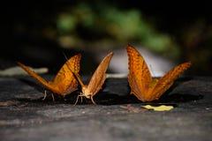 Fjärilar natur Fotografering för Bildbyråer