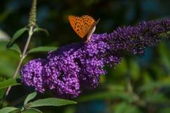Fjärilar och blommor royaltyfria bilder