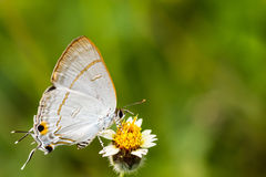 Fjärilar och blommor. Fotografering för Bildbyråer