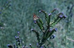 Fjärilar och söt nektar för kryp mot efterkrav från lösa vildblommor Stor selektiv fokus royaltyfria foton