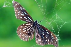 Fjärilar och spindlar Arkivbilder