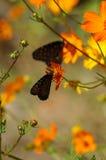 Fjärilar och vallmor Arkivbilder