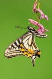 Fjäril på blomman, Papilio xuthus Arkivfoto