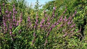Fjärilar på blomman stock video