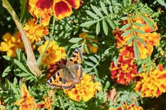 Fjärilar på blomman i trädgård Arkivfoto
