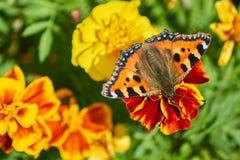 Fjärilar på blomman i trädgård Fotografering för Bildbyråer