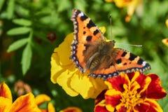 Fjärilar på blomman i trädgård Royaltyfri Fotografi