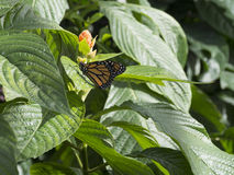 Fjärilar på blommor royaltyfri bild