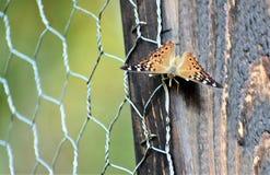 Fjärilar på coopen arkivbild