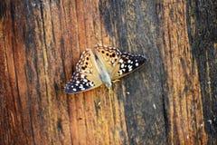 Fjärilar på coopen Arkivfoto