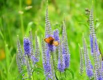 Fjärilar på en äng Arkivfoton
