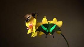 Fjärilar på en blomma arkivfilmer