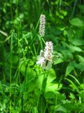 Fjärilar på en blomma i ett fält i det naturligt parkerar Olenyi bäckar i den Sverdlovsk regionen arkivbilder