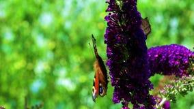 Fjärilar på en fjäril Bush arkivfilmer