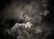 Fjärilar på en tusensköna Arkivbild
