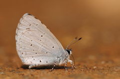 Fjäril på det slipat, Celastrina Arkivfoton