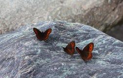 Fjärilar på stenarna arkivfoton