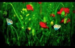 Fjärilar på vallmo Arkivfoton
