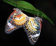fjärilar som lacewing malay Arkivfoto