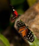 fjärilar som longwing röd tigeryellow för brevbärare arkivfoton