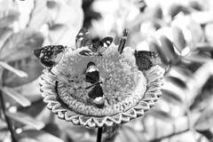 Fjärilar som matar nektar från den stora blomstra blomman Royaltyfri Bild