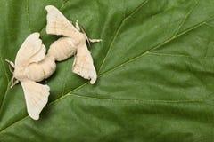 fjärilar som parar ihop silkworm två royaltyfria foton