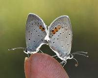 fjärilar två Fotografering för Bildbyråer