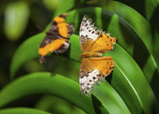 fjärilar två Royaltyfria Foton