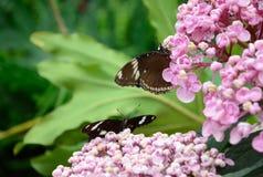 fjärilar två Arkivfoton