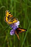 fjärilar två arkivfoto