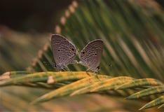 Fjärilar under att para ihop Arkivfoto