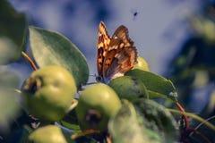 Fjärilen är på äppleträd Arkivfoto
