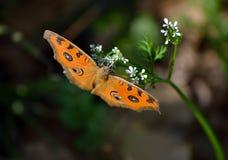 Fjärilen är på den lösa blomman Fotografering för Bildbyråer