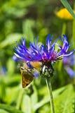 Fjärilen äter blommanectar Royaltyfri Bild