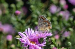 Fjärilen av ariciaagestis samlar nektar på en knopp av Astra Arkivfoton