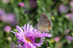 Fjärilen av ariciaagestis samlar nektar på en knopp av Astra Royaltyfria Foton