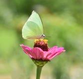 fjärilen blommar pink Arkivbild