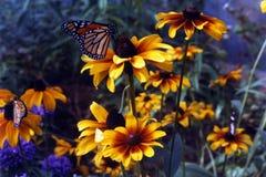 fjärilen blommar rudbeckia arkivbilder