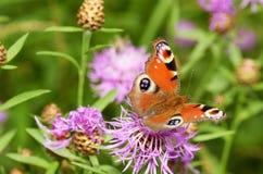 Fjärilen dricker nektar från en blomma royaltyfri foto