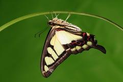 Fjärilen fattar på/den Graphium cloanthusen Arkivfoto