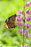 Fjärilen kopplar ihop kompisen på blomma Arkivbild