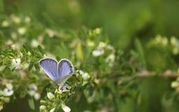 Fjärilen matar på en blomma Royaltyfria Bilder