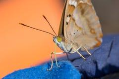 Fjärilen med guling synar closeupen Arkivbild