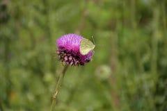 Fjärilen och biet delar en blomma royaltyfri bild