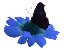 Fjärilen på blått blommar vit isolerad bakgrund med den snabba banan closeup Inget skuggar Arkivfoton